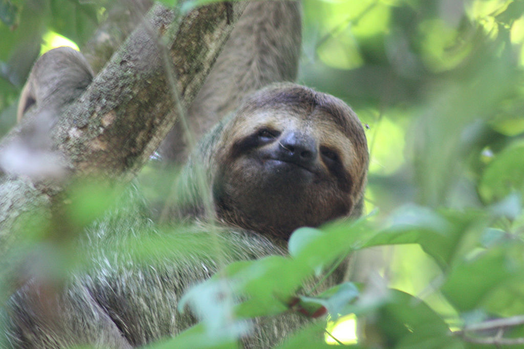1024px-Brown-throated_three-toed_sloth_female_face